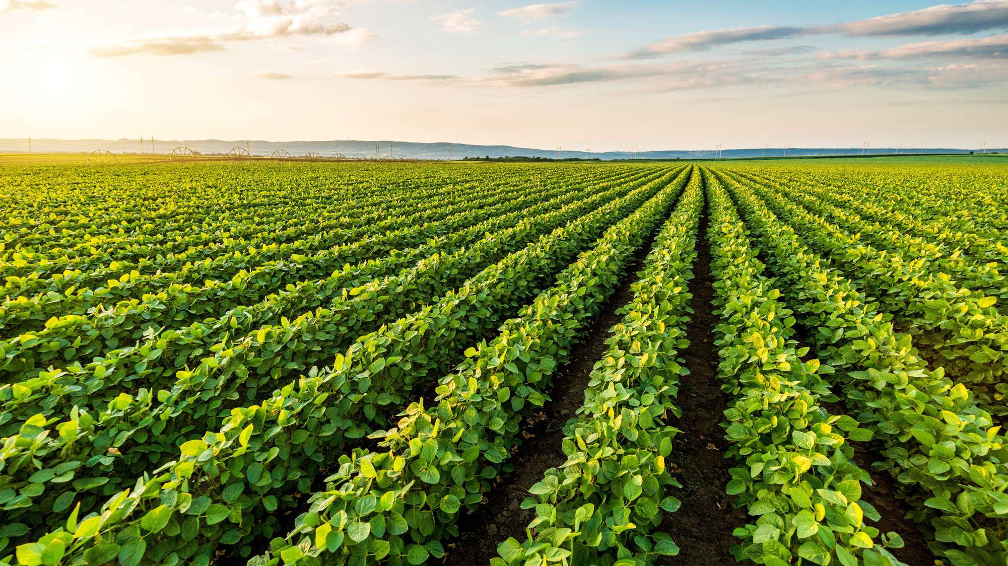 Header image of potato field